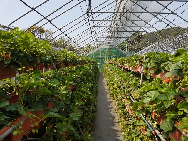 neihu strawberry farm 1