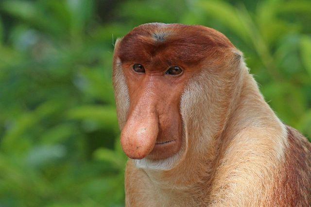 Proboscis_monkey_(Nasalis_larvatus)_male_head